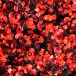 bronze-leaf-red-begonia-150x150
