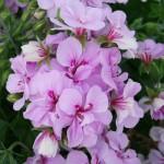 lavender-vining-geranium-150x150