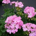 pink-geranium-150x150