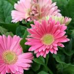 pink-gerbera-150x150