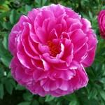 pink-peonies-150x150