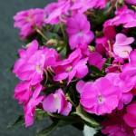 pink-sunpatien-2-150x150