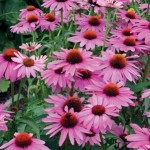 purple-coneflower-150x150