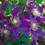 purpleclematissq-150x150