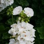 white-geranium-150x150
