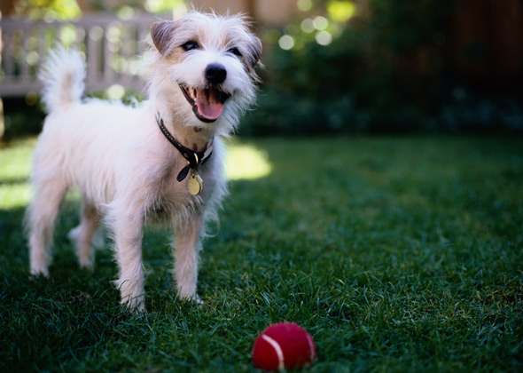 Jack Russell Terrier Smiling