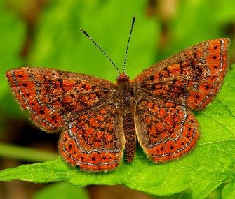 Swamp Metalmark Butterfly