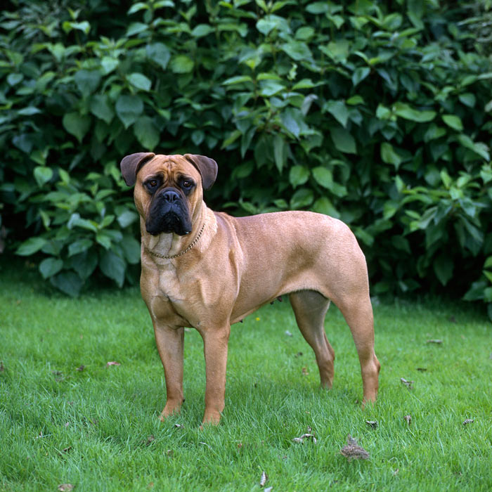 Bullmastiff Standing in Grass