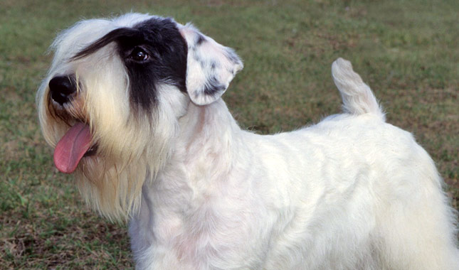 Sealyham Terrier Dog B...