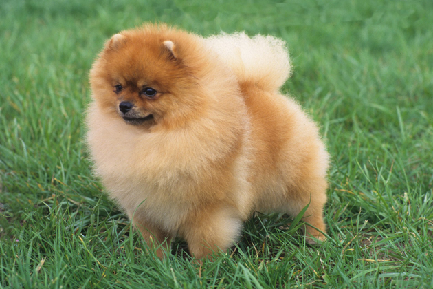 Pomeranian: The Baby of a Bold Family
