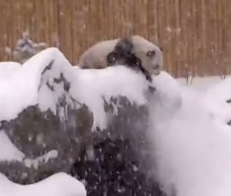 Panda Da Mao, age 5, had the time of his life playing in the snow at the Toronto Zoo.