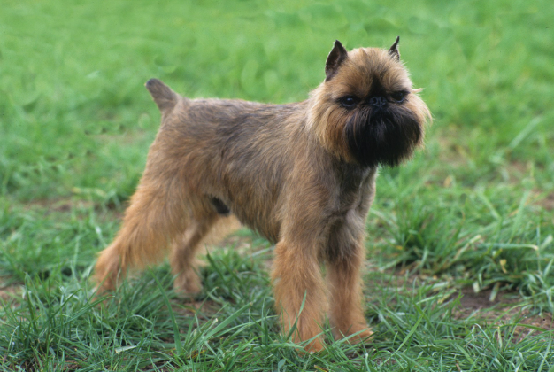 Brussels Griffon: Small Body, Big Mischief