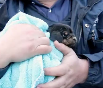 Dachshund mix puppy rescued from drain pipe