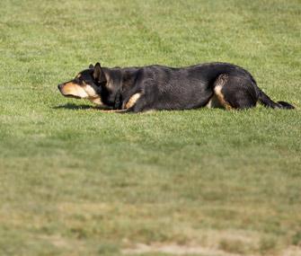 Dog Crouching
