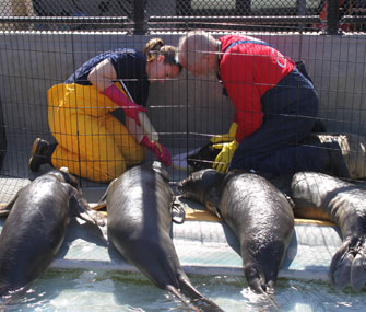 Elephant seal pups being tube fed