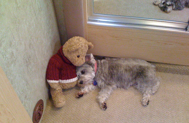 Abby the Miniature Schnauzer snuggles with a teddy bear.