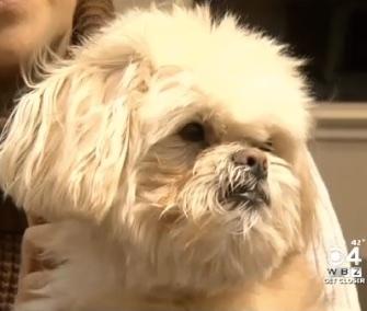 Pooh was sleeping in his dog walker's car when it was stolen in Massachusetts.