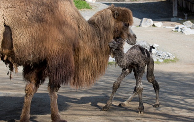 Baby camel with mom at Zoo Zurich