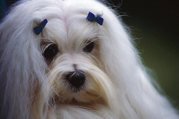 Maltese — Smart and Charming Chum