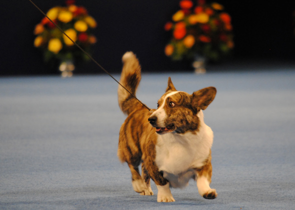 Cardigan Welsh Corgi at National Dog Show