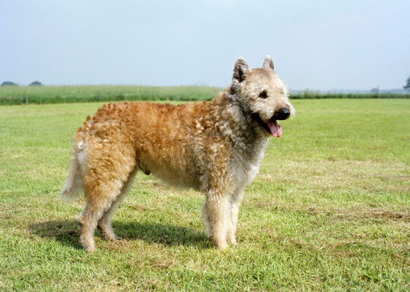 Belgian Laekenois dog breed