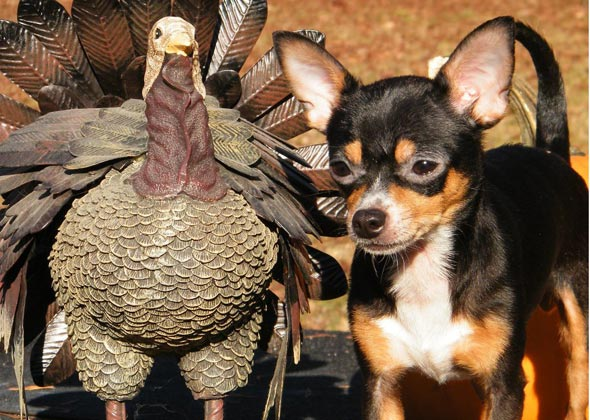 Dog with turkey