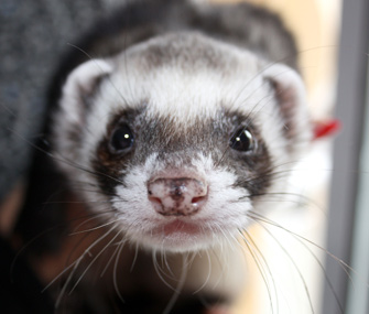 Ferret portrait