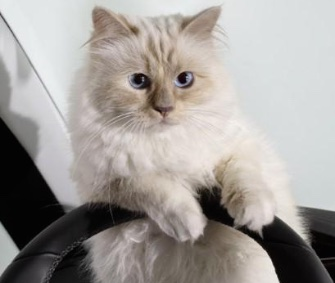 Karl Lagerfeld's Choupette poses in a German car ad.