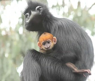 "The San Francisco Giants have had good luck since this ""Lucky Langur"" was born at the city's zoo."