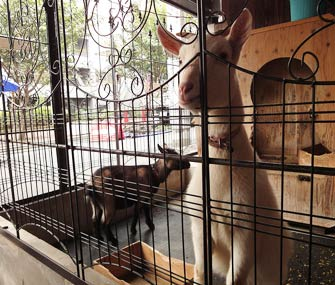 two goats in a large cage
