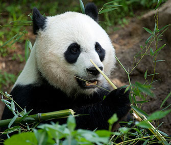 The National Zoo is hoping panda Mei Xiang has a cub this year.