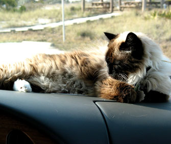 cat on dashboard