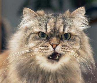 Closeup of cat meowing