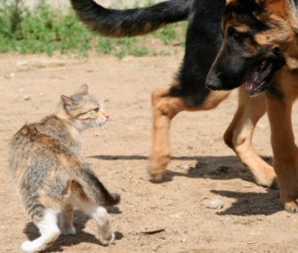 Why does my cat scare big dogs?