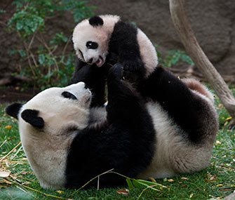 Bai Yun, who's given birth to five cubs during her time at the San Diego Zoo, plays with Yun Zi, who was born in 2009.