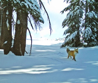 Remote cameras captured images of a rare Sierra Nevada red fox in Yosemite National Park for the first time in nearly 100 years.