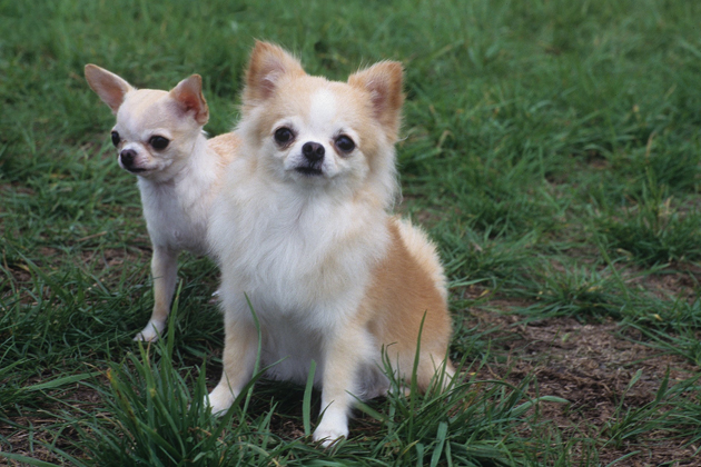 Chihuahua: Small and Mighty (and a Little Bitey)