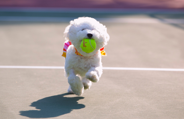 Nellie the Bichon Frise carries a tennis ball.