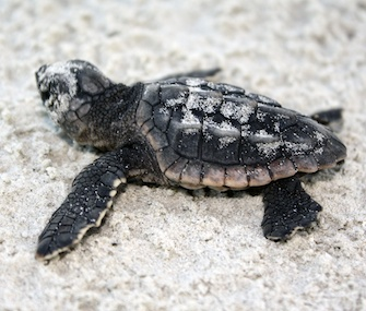 A loggerhead sea turtle hatchling heads for the ocean at Jekyll Island, Ga.