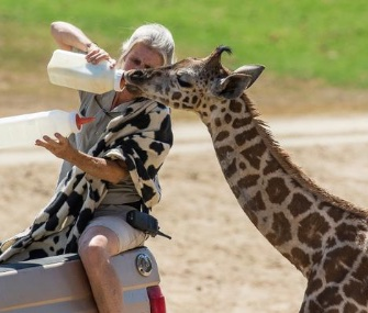 Congo the giraffe calf gets a bottle from his keeper at the San Diego Zoo Safari Park.