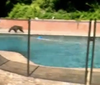 Bear cubs go for a dip in a backyard pool in Pasadena, Calif.