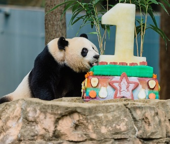 Mom Mei Xiang digs in to her son Bei Bei's first birthday cake at the National Zoo.