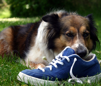 Dog Eating Shoe
