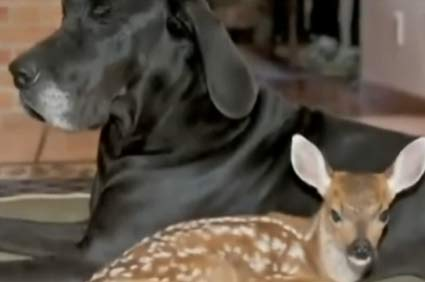 Great Dane and deer