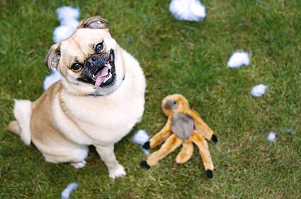 Pug looking guilty with torn apart stuffed monkey