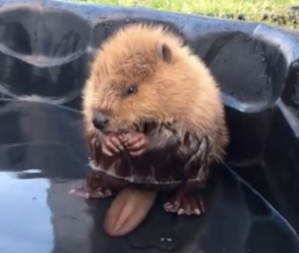 An injured baby beaver is being rehabilitated after being found on a golf course.