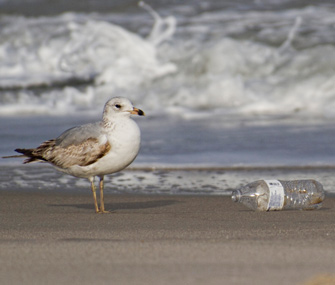 Seagull and plastic bottle