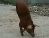 Pig walks on two legs