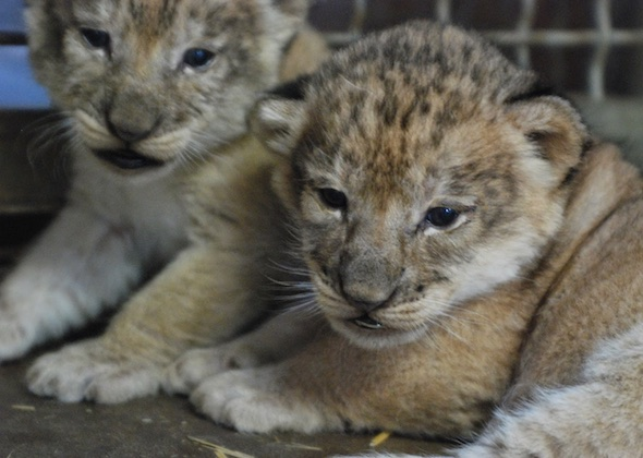 Three lion cubs were born at the Sacramento Zoo on Oct. 24