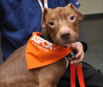 Fraggle, a Pit Bull mix who was found in a suitcase, is slowly recovering.
